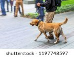 canine service dog on a city... | Shutterstock . vector #1197748597