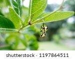 Small photo of Chrysalis (Pupa) of a Common Crow Butterfly (Euploea core)