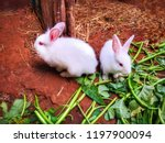 cuteness of two white rabbits... | Shutterstock . vector #1197900094