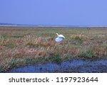 botswana birds. little egret... | Shutterstock . vector #1197923644