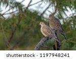 Mourning Doves Often Match...