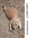 funny prairie dog went out for... | Shutterstock . vector #1198072897