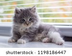 Stock photo little fluffy grey persian maine coon kitten lies near the door and looking at camera newborn 1198186447