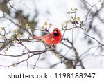 one red northern cardinal bird  ...
