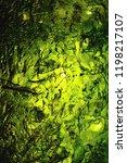dried nori seaweed laminaria... | Shutterstock . vector #1198217107
