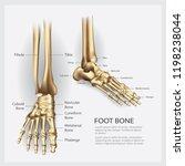 human anatomy foot bone vector... | Shutterstock .eps vector #1198238044
