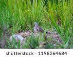 a local bird is seeking food | Shutterstock . vector #1198264684