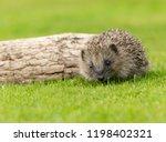 hedgehog  wild  native european ... | Shutterstock . vector #1198402321