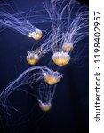 Jellyfish Part At The Aquarium