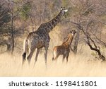 adult giraffe with a young ... | Shutterstock . vector #1198411801