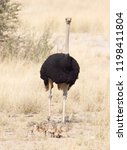 ostrich family walking in the... | Shutterstock . vector #1198411804