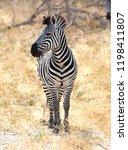 zebra in the grassy nature ... | Shutterstock . vector #1198411807