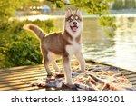 Beautiful Husky Puppy Dog Runs...