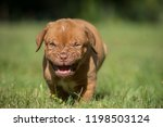 Angry Doggue Bordeaux Puppy...