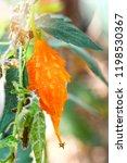 bitter gourd   orange ripe... | Shutterstock . vector #1198530367