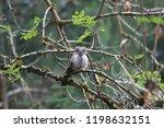 eurasian pygmy owl swabian jura ...   Shutterstock . vector #1198632151