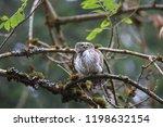 eurasian pygmy owl swabian jura ...   Shutterstock . vector #1198632154