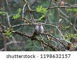eurasian pygmy owl swabian jura ...   Shutterstock . vector #1198632157