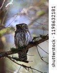 eurasian pygmy owl swabian jura ...   Shutterstock . vector #1198632181