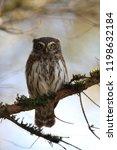 eurasian pygmy owl swabian jura ...   Shutterstock . vector #1198632184