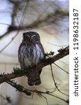 eurasian pygmy owl swabian jura ...   Shutterstock . vector #1198632187