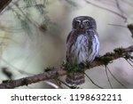 eurasian pygmy owl swabian jura ...   Shutterstock . vector #1198632211
