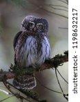 eurasian pygmy owl swabian jura ...   Shutterstock . vector #1198632217