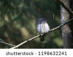 eurasian pygmy owl swabian jura ...   Shutterstock . vector #1198632241