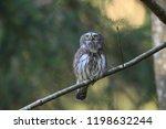 eurasian pygmy owl swabian jura ...   Shutterstock . vector #1198632244