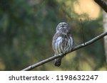 eurasian pygmy owl swabian jura ...   Shutterstock . vector #1198632247