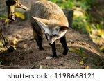 bat eared fox | Shutterstock . vector #1198668121