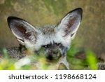 bat eared fox | Shutterstock . vector #1198668124