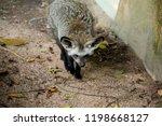 bat eared fox | Shutterstock . vector #1198668127