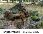 felled trees in the forest | Shutterstock . vector #1198677337
