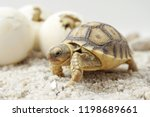 Stock photo close up baby tortoise hatching african spurred tortoise birth of new life cute baby animal 1198689661