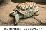 Stock photo african spurred tortoise which is one of the largest species of tortoise in the world north and 1198696747