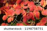 hamamelis x intermedia   diane  ...   Shutterstock . vector #1198758751