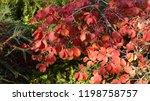 hamamelis x intermedia   diane  ...   Shutterstock . vector #1198758757