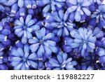 Muscari   Hyacinth Close Up