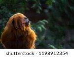 Golden Lion Tamarin Looking...