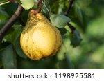 fresh juicy pears on pear tree...   Shutterstock . vector #1198925581