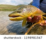 Dripping wet brown trout caught in the Upper Green River near Pinedale Wyoming. Beautiful fish lifted from the net and about to be released back into the stream. - stock photo