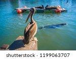 seals at valdivia port. | Shutterstock . vector #1199063707