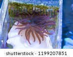 rainbow bubble tip anemone... | Shutterstock . vector #1199207851