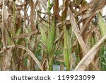 Rust Disease In Corn Field.