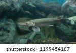 Alligator gar fish in aquarium tank.