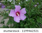 Close View Of Pink Flower Of...