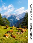 cows and calfs on the pasture ...   Shutterstock . vector #1199487397
