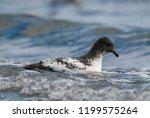 cape petrel  antartic bird  ant ... | Shutterstock . vector #1199575264