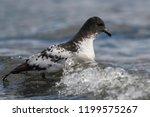 cape petrel  antartic bird  ant ... | Shutterstock . vector #1199575267